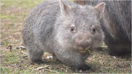 Auch dieses Baby-Wombat kann Dank der hilfsbereiten Australier gesund weiter futtern. (Bilder: Facebook-Seite des Wombat Survey and Analysis Tools)