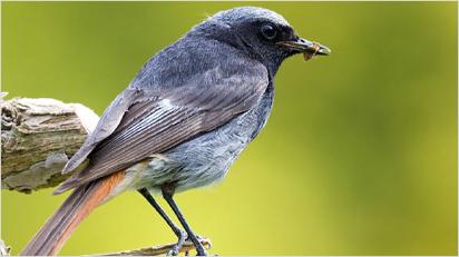 ... und der Hausrotschwanz gehören zu den Vögeln, die in Deutschland überwintern (Quelle: www.nabu.de).