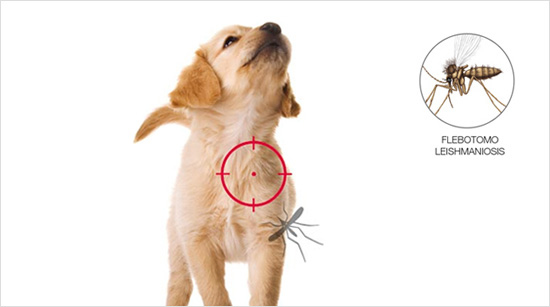 … una grave enfermedad que pueden contraer los perros a causa de la picadura de un insecto llamado flebotomo.