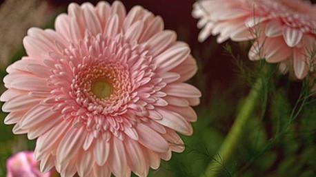 La gerbera rosa è simbolo d'amore.
