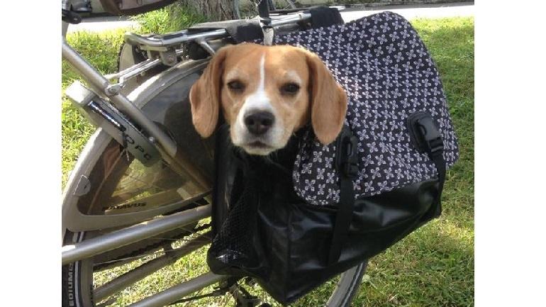 Marley van trnd-partner Sfiej laat zich graag vervoeren! Je kunt haar avonturen trouwens volgen op de Instagramaccount @marley_the_mini_beagle